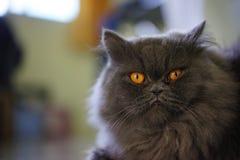 Foto común - foco selectivo Gray Cat foto de archivo