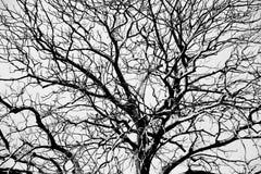 Foto común - perdió un árbol secado grande - aislada en el backgr blanco Fotos de archivo