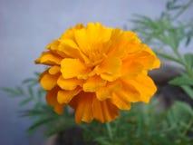 Foto completamente florecida de la flor de la maravilla Imágenes de archivo libres de regalías