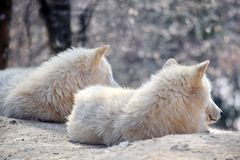 Foto conservada em estoque ártica branca de Wolf Couple Portrait Canis Lupus Arctos foto de stock royalty free