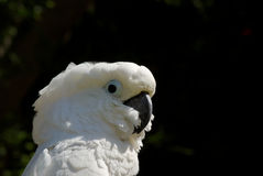 Foto conservada em estoque horizontal do Cockatoo branco Fotos de Stock Royalty Free