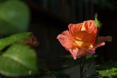 Foto cor-de-rosa do close-up da flor da laranja com fundo escuro, gotas da água Fotos de Stock Royalty Free