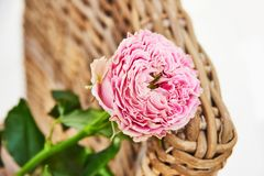 Foto cor-de-rosa cor-de-rosa macia do botão na cadeira de vime clara foto de stock royalty free
