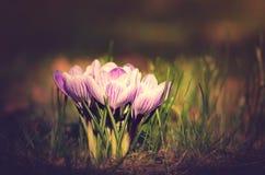 Foto d'annata dei fiori del croco Immagine Stock