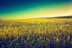 Foto d'annata del tramonto sopra il campo di grano ad estate Immagine Stock Libera da Diritti
