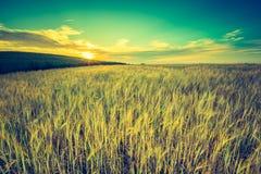 Foto d'annata del tramonto sopra il campo di grano ad estate Fotografie Stock Libere da Diritti