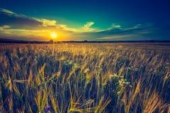 Foto d'annata del tramonto sopra il campo di grano ad estate Immagini Stock Libere da Diritti