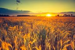 Foto d'annata del tramonto sopra il campo di grano ad estate Immagini Stock