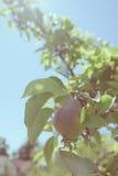Foto d'annata della pera che cresce sull'albero Fotografia Stock