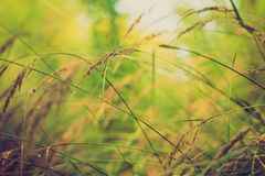 Foto d'annata delle orecchie dell'erba alla luce del sole Fotografie Stock