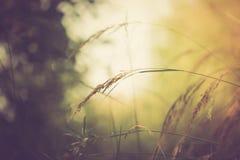 Foto d'annata delle orecchie dell'erba alla luce del sole Fotografia Stock Libera da Diritti