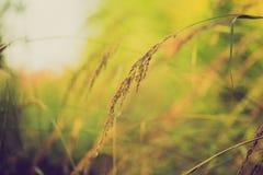 Foto d'annata delle orecchie dell'erba alla luce del sole Immagini Stock