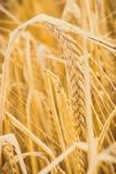 Foto d'annata, orecchie di grano o segale pronta per il raccolto, l'agricoltura ed il concetto rurale Fotografia Stock