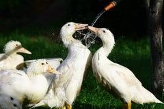 Foto da água corrente inferior lavável dos gansos Imagem de Stock Royalty Free