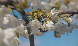 Foto da árvore de cereja de florescência com abelha fotografia de stock