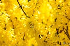 Foto da árvore de florescência amarela bonita da forsítia com maravilhoso Imagens de Stock