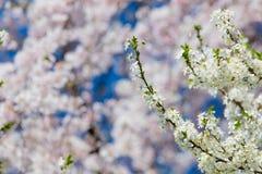 Foto da árvore de florescência bonita no claro maravilhoso Fotos de Stock