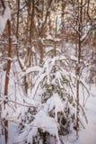 Foto da árvore nevado da paisagem e de abeto fotos de stock