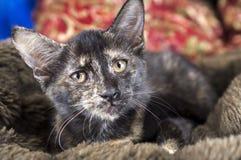 Foto da adoção do animal de estimação do gatinho da concha de tartaruga fotos de stock royalty free