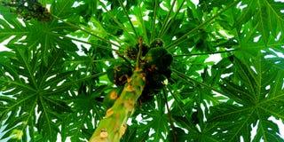 Foto da doença de fungo da árvore de papaia imagens de stock