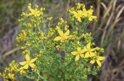 Foto da erva amarela, wort do ` s de St John Planta de Tutsan imagens de stock
