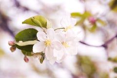 Foto da flor da maçã Mola, luz do sol, felicidade imagens de stock royalty free