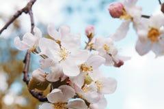 Foto da flor da maçã Mola, luz do sol, felicidade imagens de stock