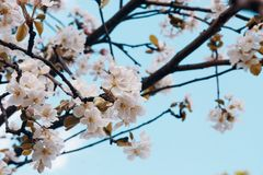 Foto da flor da maçã Mola, luz do sol, felicidade fotos de stock royalty free
