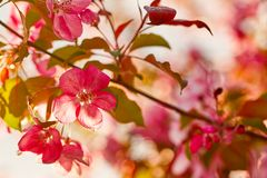 Foto da flor da maçã Mola, luz do sol, felicidade foto de stock