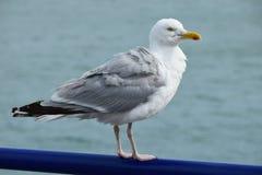 Foto da gaivota em uma costa de mar fotografia de stock royalty free