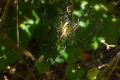 A foto das aranha-vespas foto de stock royalty free