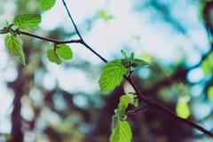 Foto, das eine Makrofrühlingsansicht des Nussbaumbrunchs mit darstellt Stockfoto