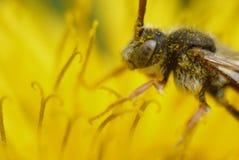 Foto de Яmacro de una abeja Imagen de archivo libre de regalías
