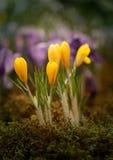 Foto de açafrões amarelos Imagem de Stock Royalty Free