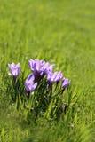 Foto de açafrões roxos Fotografia de Stock Royalty Free