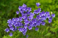 Foto de campanas púrpuras en foco macro suave fotos de archivo libres de regalías