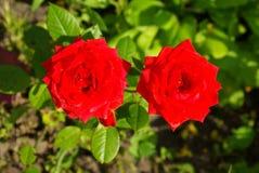 Foto de dos rosas rojas que crecen en un jardín del verano Fotos de archivo