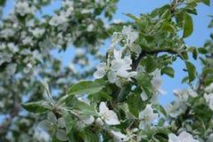 foto de flores del manzano contra el cielo Imagen de archivo libre de regalías