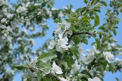 foto de flores del manzano contra el cielo Foto de archivo libre de regalías