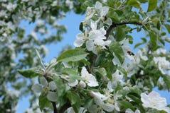 foto de flores del manzano contra el cielo Fotos de archivo