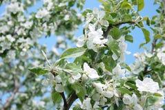 foto de flores del manzano contra el cielo Imagen de archivo