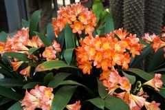 Foto de flores tropicales brillantemente anaranjadas en un pote imagenes de archivo