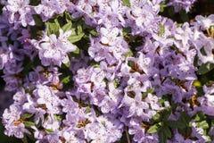 Foto de florescer a flor roxa Fotografia de Stock Royalty Free