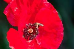 Foto de la abeja que trabaja y que recoge el polen de la flor roja de la amapola Imágenes de archivo libres de regalías