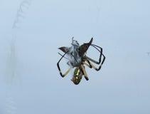 Foto de la acción de la araña de jardín amarilla en un web con la presa Imagen de archivo libre de regalías