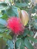 Foto de la acción de la flor del julibrissin del Albizia foto de archivo