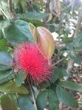 Foto de la acción de la flor del julibrissin del Albizia fotos de archivo libres de regalías