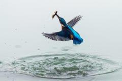 Foto de la acción de un martín pescador que sale del agua con los pescados en su pico después de una pesca acertada fotografía de archivo