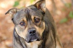 Foto de la adopción de la mezcla de Bulldog del pastor Foto de archivo libre de regalías