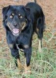 Foto de la adopción de la mezcla de Rottweiler Imágenes de archivo libres de regalías